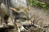 foto of growl  - Growling and mean gray wolf in the wild - JPG