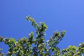 Kirschen auf Zweig