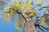 Old Walnut Tree (juglans Nigra)
