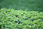 Green Bushes