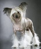 Lapdog. Chinese Crested purebred Dog poster