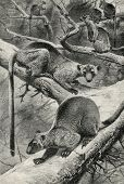 Woody kangaroos (Dendrolagus ursinus). Engraving by  Kunert. Published in magazine