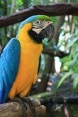 Macaw parrot. Agapornis-Fischeri