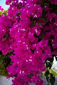 Bunch Of Purple Bougainvillea Flowers. Spontaneous Flower That Grows On The Island Of Santorini, Gre poster