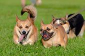 Young Energetic Welsh Corgi Pembroke Is Playing With French Bulldog. Corgi With A Long Tail. How To  poster