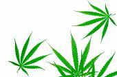 Cannabis Plant. Cannabis Sativa (hemp) Has Cbd. Marijuana (weed) Green Leaves On White Background. H poster