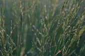 Grass Nature Plant, In Park, Summer, Flora, Leaves With White Sun Light In The Morning, Flower Grass poster