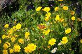 Gelbe Wildblumen.