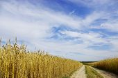 Road through the wheat field