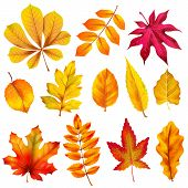 Realistic Autumn Leaves. Fall Orange Wood Foliage Of Chestnut And Maple. Oak And Ash, Linden And Bir poster