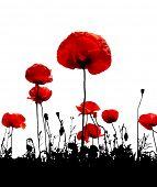 Poppy flower on a white background