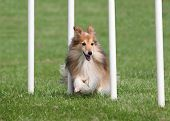 picture of sheltie  - Happy Sheltie going through an Agility Weave Poles - JPG
