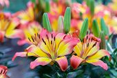 Pink Lily Flowe At Winter Or Spring Day. Lovely Spring Lily Flowers. Spring Flower Landscape. Spring poster
