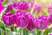 Tulip Flower In Tulip Field At Winter Or Spring Day. Lovely Spring Tulip Flowers. Spring Flower Land poster