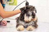 Female Groomer Trimming Dog Hair With Clipper. Woman Working In Pet Shop. Groomer Trimming Dog Hair  poster