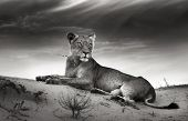 stock photo of lioness  - Lioness on desert dune  - JPG