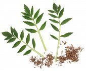 Valerian gehakte kruid wortel en blad takjes op witte achtergrond. Valeriaan (geslacht).