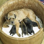 image of border terrier  - female dog with puppies  - JPG