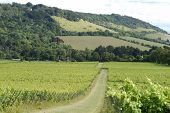 foto of dork  - English vineyard at Dorking - JPG