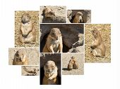 Souslik (ground Squirrel) Multishot Collage