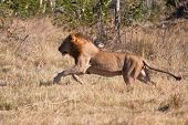 foto of chase  - Lion male hunt run fast in brown grass chase - JPG