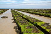 Oyster beds offshore the channel island of Jersey, UK