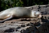 Lazy Sea Lion On A Rock 2