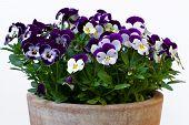 Viola cornuta (horned violet)