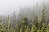 mountain spruce forest in fog, Rocky Mountains near Loveland Pass, Colorado