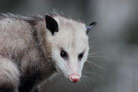 stock photo of opossum  - Virginia opossum - JPG