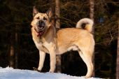stock photo of laika  - West Siberian Laika walking in winter forest - JPG
