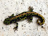 picture of newt  - Juvenile Marbled Newt  - JPG