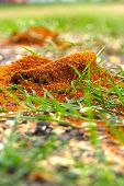 pic of fire ant  - Ants nest with green grass in the nature - JPG