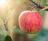 foto of orchard  - Red Ripe Organic Apple On Tree In Apple Orchard - JPG