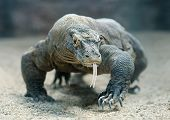 stock photo of giant lizard  - Komodo Dragon the largest lizard in the world - JPG
