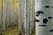 Stand Of Quaking Aspens