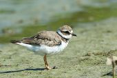 foto of fluffing  - A Ringed Plover with feather fluffed on the mud flats - JPG
