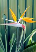 Bird Or Paradise Or South African Crane Flower, Botanical Name Strelitzia Reginae, In Garden Setting