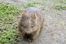 picture of wombat  - the wombat is in a field of mud - JPG