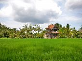 Rice Field With An Old House, Palm Trees And Cloudy Sky