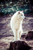 stock photo of horrific  - Arctic white wolf in vienna zoo - JPG