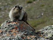 Hoary Marmot On Watch