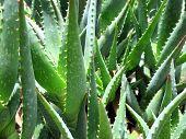 Aloe in a Garden