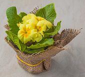 Yellow Primrose