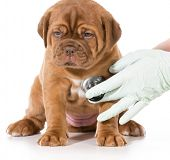 stock photo of dogue de bordeaux  - veterinary care  - JPG