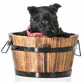 scottish terrier puppy in a wash basin isolated on white background - 4 weeks old