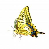 Old World Swallowtail (Papilio machaon) butterfly. Isolated on a white background