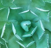 pic of century plant  - Macro of succulent plant in the desert - JPG