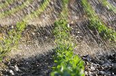stock photo of water cabbage  - Watering cabbage seedling field detail by sunset - JPG