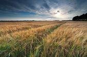 Sunshine Over Wheat Field In Summer